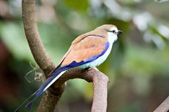 Racket-tailed Roller Coracias spatulatus perched on branch Stock Photography