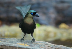 Racket-tailed Treepie Royalty Free Stock Image