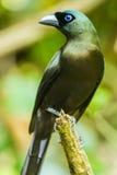Racket-tailed Treepie Royalty Free Stock Photo