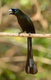 Racket-tailed Treepie (Crypsirina temia) Stock Photos
