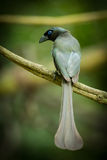 Racket-tailed Treepie Royalty Free Stock Images
