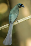 Racket-tailed Treepie Stock Images