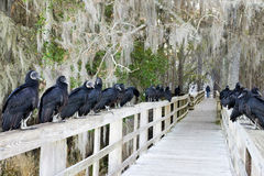 Racketeers. Black vultures. Royalty Free Stock Photography