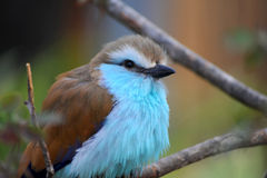 Rackety-Tailed Roller in Tree Stock Images