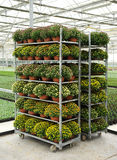 Racks of potted chrysanthemums Royalty Free Stock Photo