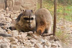 Racoon in the сage. A racoon in the cage is eating royalty free stock photos
