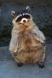 racoon στεμένος Στοκ εικόνες με δικαίωμα ελεύθερης χρήσης