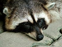 racoon στηργμένος Στοκ φωτογραφία με δικαίωμα ελεύθερης χρήσης