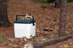 racoon младенца Стоковые Изображения RF