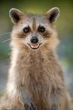 racoon одичалый Стоковая Фотография RF