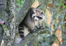 Racoon 1. Sly Racoon on the Branch Stock Photos