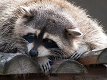 Racoon. Raccoon resting on a wooden bridge, close-up Royalty Free Stock Photos