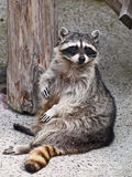Racoon. Sitting on stone in Zoo in Moscow, Russia Royalty Free Stock Photography