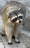 Racoon 11 Stock Photography