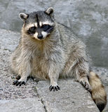 Racoon 12 stock images