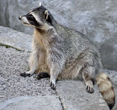 Racoon 13 Stock Images