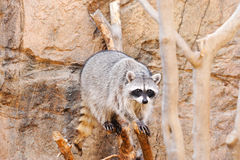 Racoon Immagine Stock