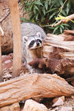 racoon Royaltyfria Bilder