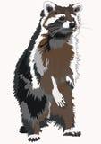 Racoon illustrazione di stock