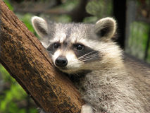 racoon Royaltyfri Bild