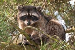 racoon Arkivbilder