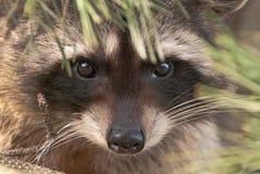 racoon Royaltyfri Fotografi