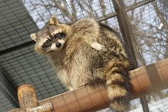 Racoon Royalty Free Stock Image
