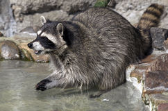 Racoon 2 Stock Photography