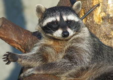 Racoon Foto de Stock Royalty Free