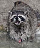 Racoon 3 Foto de Stock Royalty Free