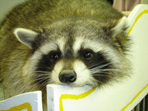 Racoon Royalty Free Stock Images