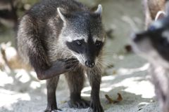 Racoon. On the beach in Manuel Antonio National Park (Costa Rica Stock Images