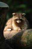 racoon Arkivfoto