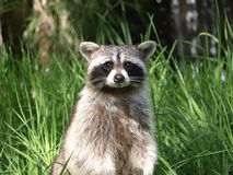 Racoon Royalty Free Stock Photography