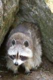 Racoon. A racoon hiding between rocks Stock Photography