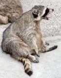 racoon 6 Arkivfoto