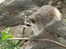 racoon Photos stock