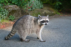 Racoon. At a tourist site in Vancouver stock photography