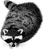 Racoon. Royalty Free Stock Images