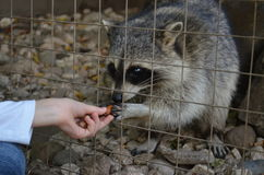 Racoon in the сage Stock Photos