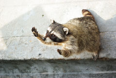 The racoon animal asking for food. Racoon is begging for food in the zoo Royalty Free Stock Images