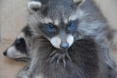 A racoon - baby holds the paw another racoon baby Royalty Free Stock Photo