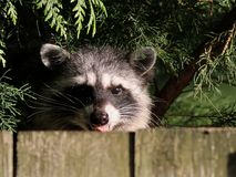 Racoon bak staket Royaltyfri Fotografi