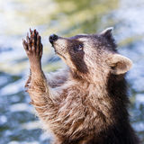 Racoon begging for food Royalty Free Stock Photography