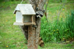 Racoon on bird feeder Stock Image