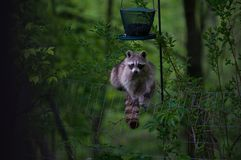 Racoon. At a bird feeder in the night Stock Images