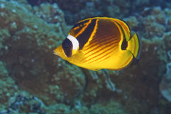 Racoon Butterfly Fish Stock Photos
