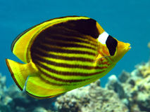 Racoon butterfly fish Stock Photography