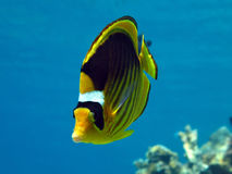 Racoon butterfly fish Royalty Free Stock Images
