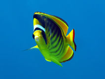 Racoon butterfly fish Stock Photo